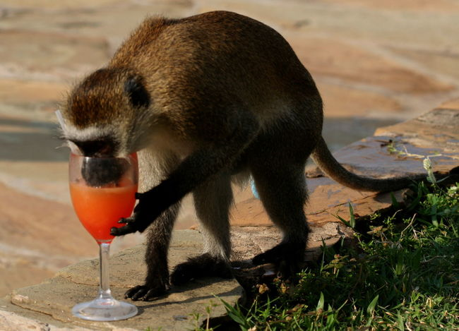 Animal Themes Curiosity Day Drinking Have A Drink Monkey No People One Animal Orange Drink