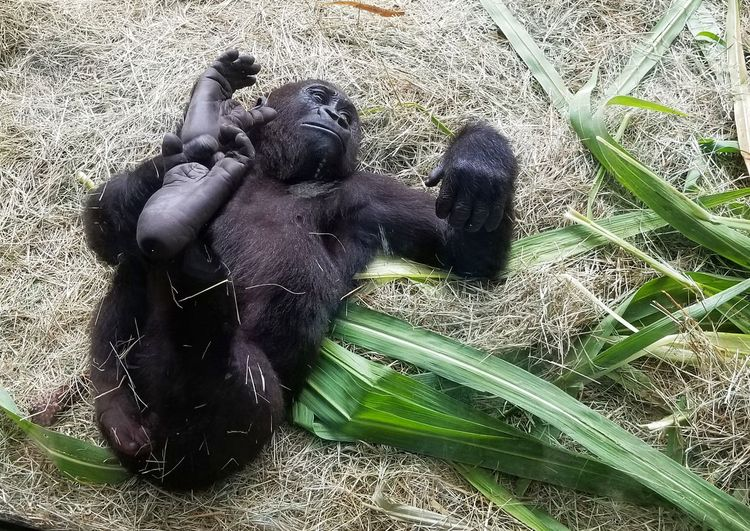 Cell Phone Photography Galaxy S8+ In The Wild Animal Family Ape Cute Gorilla Grass Jungle Mammal No People Not Human On Safari Outdoors Primate Samsung Galaxy S8+ Wildlife
