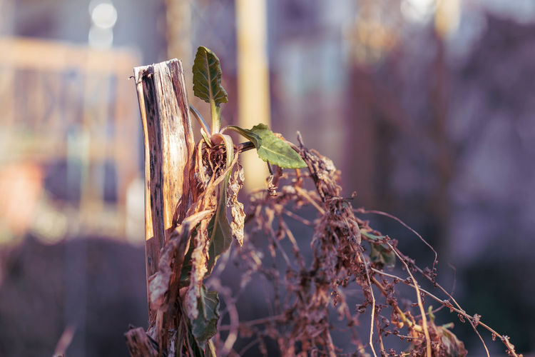 close-up of dried plant Beauty In Nature Close-up Day Dead Plant Dried Dried Plant Dry Februar Focus On Foreground Garten Growth Land Leaf Mangold Nature No People Outdoors Plant Plant Part Plant Stem Selective Focus Sunlight Tranquility Tree Wilted Plant