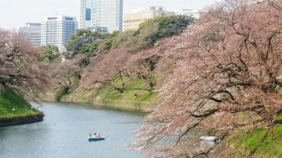Chidorigafuchi Tokyo Japan Naturelover Enjoying Nature Cherry Blossoms Imperial Palace Moat Chiyoda Tokyospring2016 29 March 2016 Moat EyeEm Gallery Eyeem Collection EyeEM Tokyo EyeEm Japan EyeEm Nature Lover