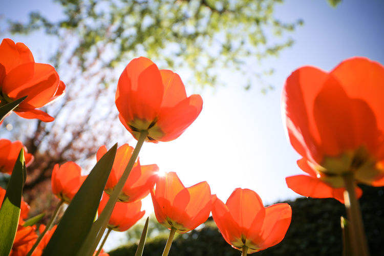 tulips-from-below EyeEm Nature Lover Nature Photography Beauty In Nature Botany Close-up Day Flower Flower Head Flowering Plant Focus On Foreground Fragility Freshness Growth Inflorescence Low Angle View Nature Nature_collection No People Outdoors Petal Plant Red Sky Tulip Vulnerability