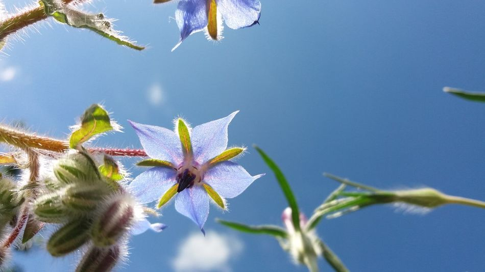 Borage other wise known as star flower Blue Beauty In Nature Flower Sky Borage Flowers Starflowers EyeEmNewHere