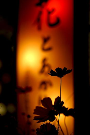 美濃和紙あかりアート Light And Shadow EyeEm Best Shots Eyeem Best Shots - Silhouette Night Lights Flowerlovers EyeEm Best Shots - Flowers