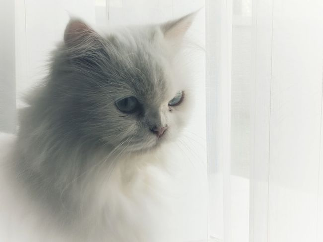 White cat, White curtain. Domestic Cat Pets Domestic Animals Feline Animal Animal Hair Kitten Animal Themes One Animal Eye Nose Portrait Mammal Indoors  Cute No People Animal Head  Curtain Whisker Day