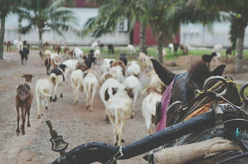 Nature Photography Goatfarm Johorbahru Gogreen Makaumakau Jalan2man EcoWorld Malaysiatrulyasia Jalan2men Just Chillin' Cuticutimalaysia Outdoors Freshair