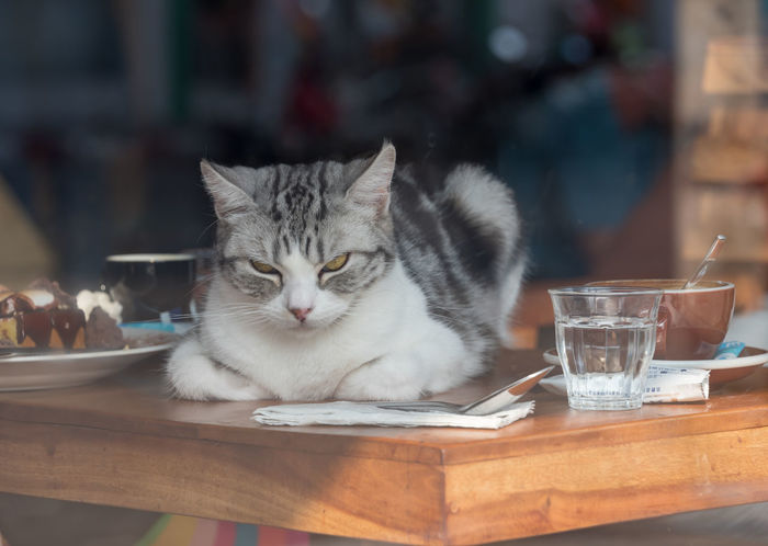 Cat resting on a table in a coffee shop in Chaing Rai, Thailand Adorable, Animal, Cat, Chaing Rai, Coffee, Coffee Shop, Color, Cute, Domestic, Eyes, Feline, Fluffy, Food, Friendly, Fur, Furry, Kitty, Looking, Mammal, Out, Pet, Pussy, Relax, Resting, Sitting, Sunlight, Thailand, Window, Young Animal Themes Close-up Day Domestic Animals Domestic Cat Feline Focus On Foreground Indoors  Mammal No People One Animal Pets Portrait Sitting Table Whisker