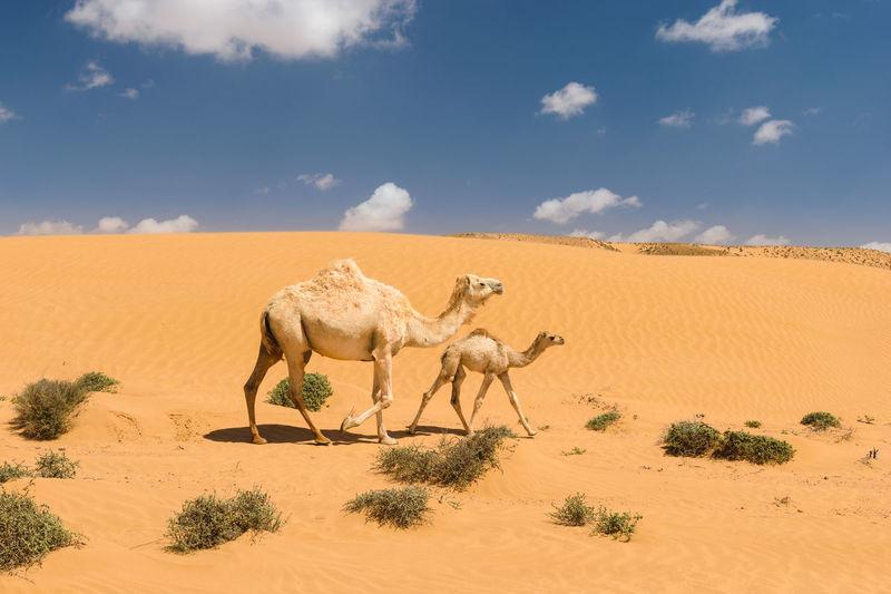 Camels walking on sand dune in desert against sky