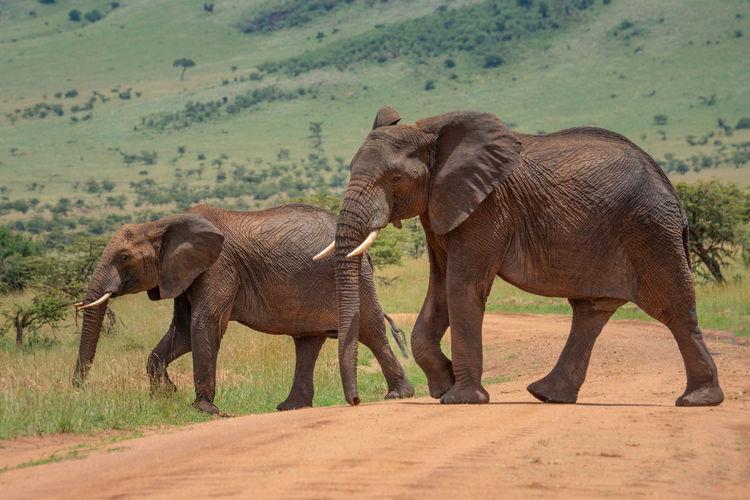 Two african elephants cross track in sunshine