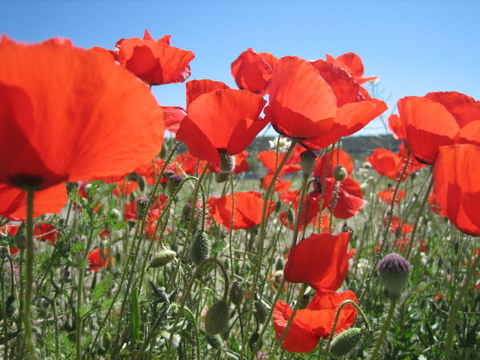 Close-up of red flowers on field against sky