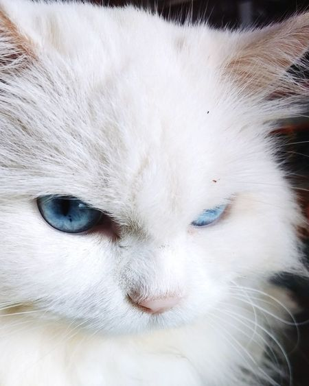 Domestic Cat Pets Domestic Animals Portrait One Animal Feline Mammal Looking At Camera Animal Themes Close-up No People Indoors  Day Whitecat Whitecat Kittens Catpic Blueeyes! Cat Photography Catslover EyeEmNewHere Eye For Photography Cateyes GameOfThornes Whitewater Kayaking