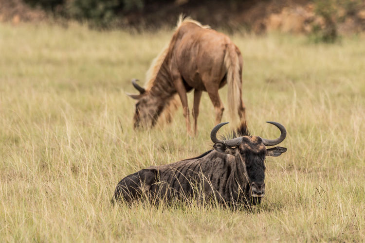 Animal Themes Animal Wildlife Animals In The Wild Animal Grass Mammal Plant Group Of Animals Field Land Nature Wildebeest No People Herbivorous Herd Safari