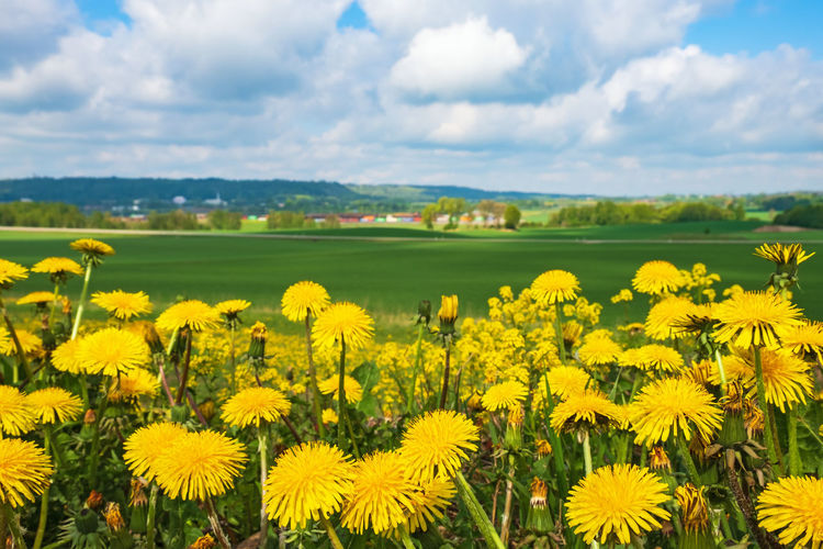 Yellow flowering plants on field against cloudy sky