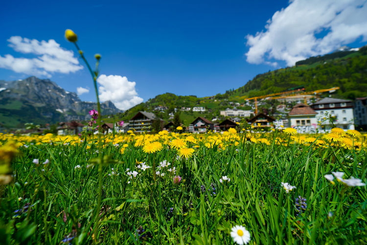 beautiful engelberg town and village Field Flowers Mount Titlis Switzerland🇨🇭 Vacations Alps Architecture Beauty In Nature Building Exterior Built Structure Cloud - Sky Day Engelberg Field Flower Flower Head Flowering Plant Freshness Green Color Growth Land Lavender Mountain Nature No People Outdoors Plant Rejuvenation River Rotary Scenics Scenics - Nature Sky Snow Sunny Day Travel Destinations Truebsee Yellow