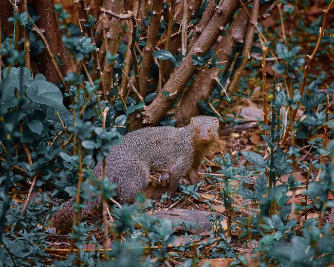 Mongoose On Field