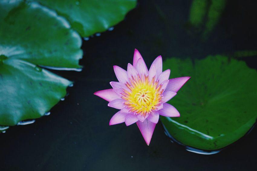 Lotus Flower Shot