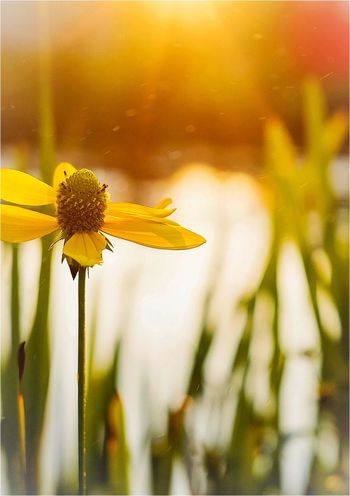 Septembersun Flower Fragility Yellow Petal Freshness Nature Growth Flower Head Plant Blooming Focus On Foreground Outdoors Close-up Day No People Park - Man Made Space Black-eyed Susan Springtime