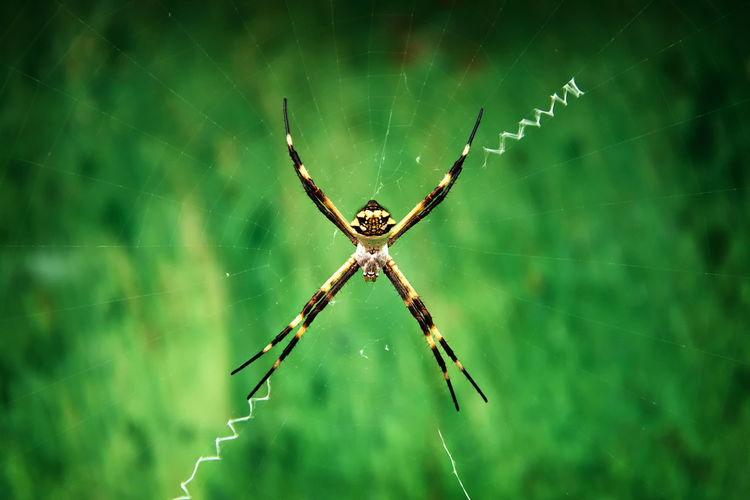 Close-up of argiope on web