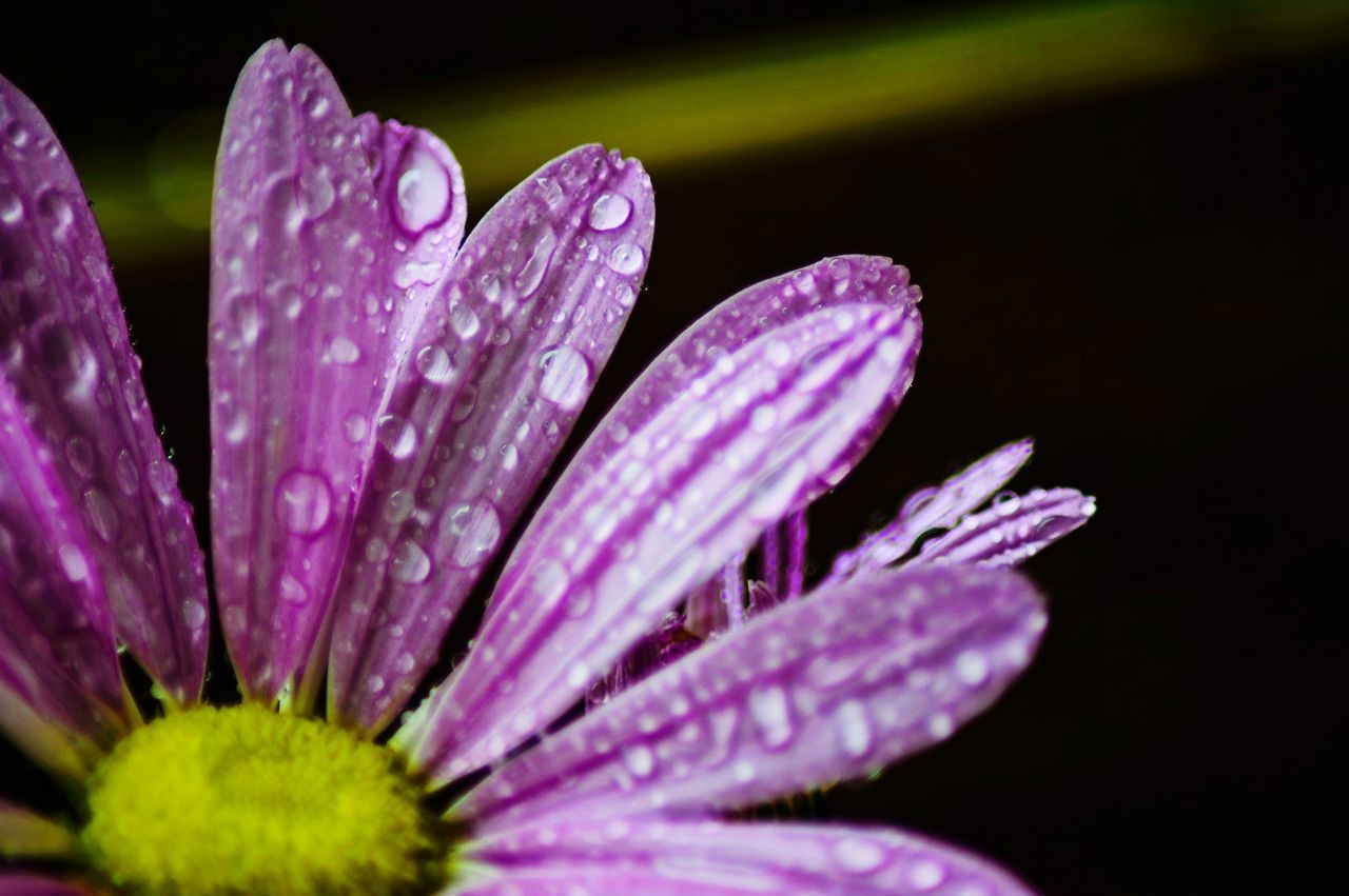 flower, nature, fragility, beauty in nature, petal, growth, plant, purple, freshness, flower head, no people, selective focus, outdoors, drop, close-up, day, blooming, water, osteospermum, crocus
