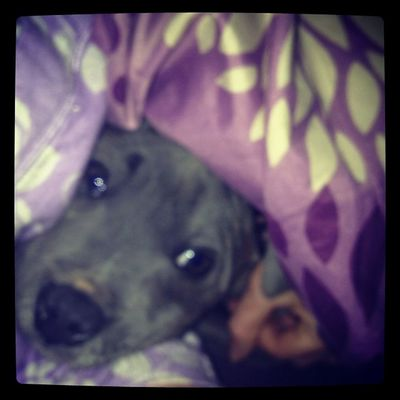 Mum I don't wanna get out of bed ? Staffy Staffysmile Bluestaffy Instapaws staffordshirebullterrior