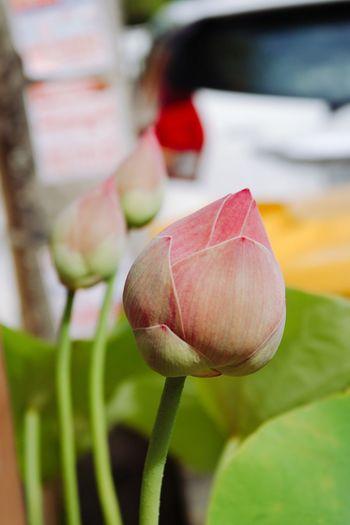 Close-up of pink lotus bud