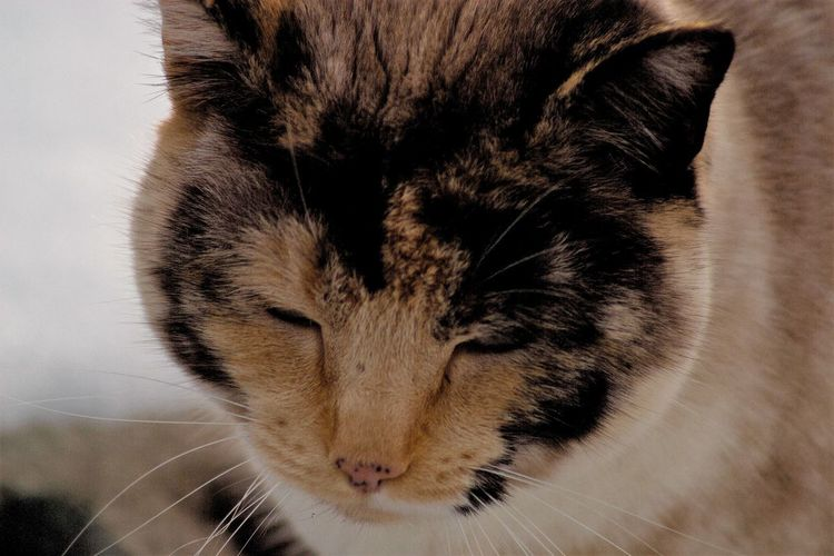 """Semi-domesticated, previously feral, """"Dirty Face"""". Colors Domestic Pets Eyes Closed  Animal Head  Animal Themes Cat Head Cat Portrait Close-up Day Domestic Animals Domestic Cat Feline Indoors  Mammal Multicolored No People One Animal Outdoors Pets Portrait Whisker"""