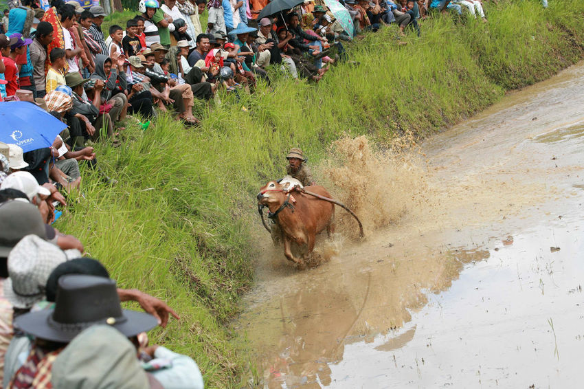 Local Gather Cow Race Pacu Jawi' in West Sumatra - Photo Story Day Grass Green Color Landscape Leisure Activity Lifestyles Mammal Medium Group Of People Nature Outdoors Pacu Jawi The Photojournalist - 2016 EyeEm Awards Tranquility Unrecognizable Person Vacations