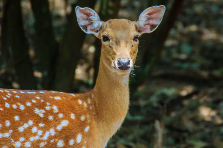 The chital or cheetal (Axis axis), also known as spotted deer or axis deer, is a species of deer that is native in the Indian subcontinent. Axis Deer Chital Axis Axis Axis Cheetal Chital Deer Spotted Deer Spotted Deer Female