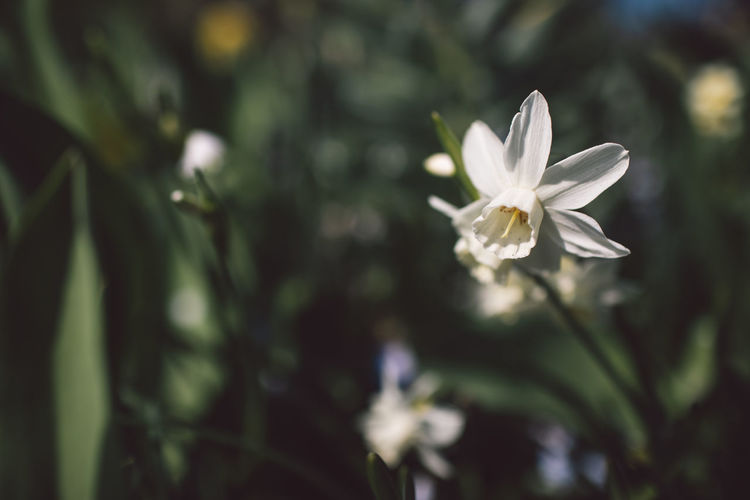 Narcissus Flowering Plant Flower Plant Fragility Beauty In Nature Growth Vulnerability  Petal Freshness Close-up Focus On Foreground White Color Nature Flower Head Inflorescence No People Day Selective Focus Outdoors Tranquility Purity