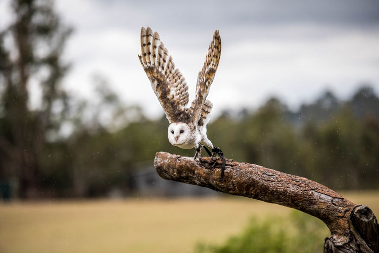 Animal Themes Animal Animal Wildlife Animals In The Wild One Animal Vertebrate Focus On Foreground Bird Bird Of Prey Spread Wings Tree Flying No People Nature Day Owl Branch Plant Outdoors Mid-air Brisbane Koala Sanctuary