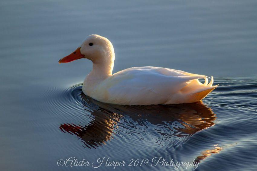 Bird Swimming Swan Water Animal Themes Close-up Duck Water Bird Floating In Water Beak Swimming Animal Duckling Young Bird