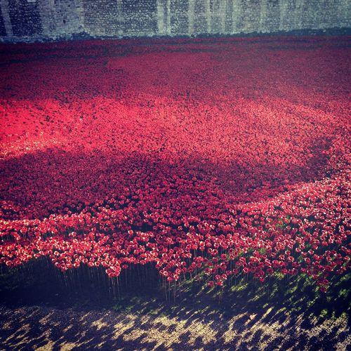 Poppies  888246