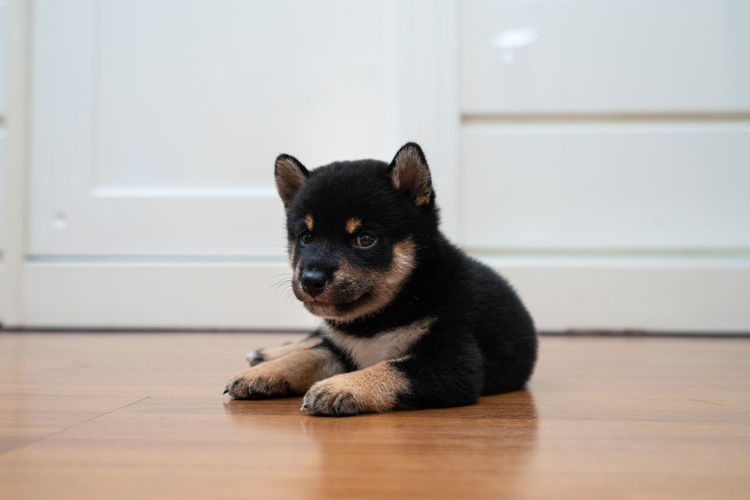 Black and tan shiba inu puppies sitting on the wooden floor