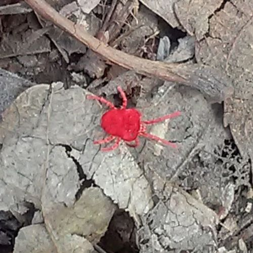 Saw this little guy in the woods! Redbug Bugs Nature Woods