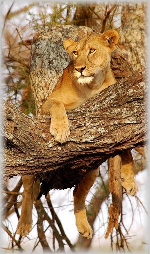 Africa African Safari Animal Animal In Tree Animal Themes Animals In The Wild Branch Climb Cute Lion Mammal Nature One Animal Relaxation Resting Safari Tanzania Tarangire Tree Climbing Tree Trunk Wild Wildlife Wildlife & Nature Wildlife Photography