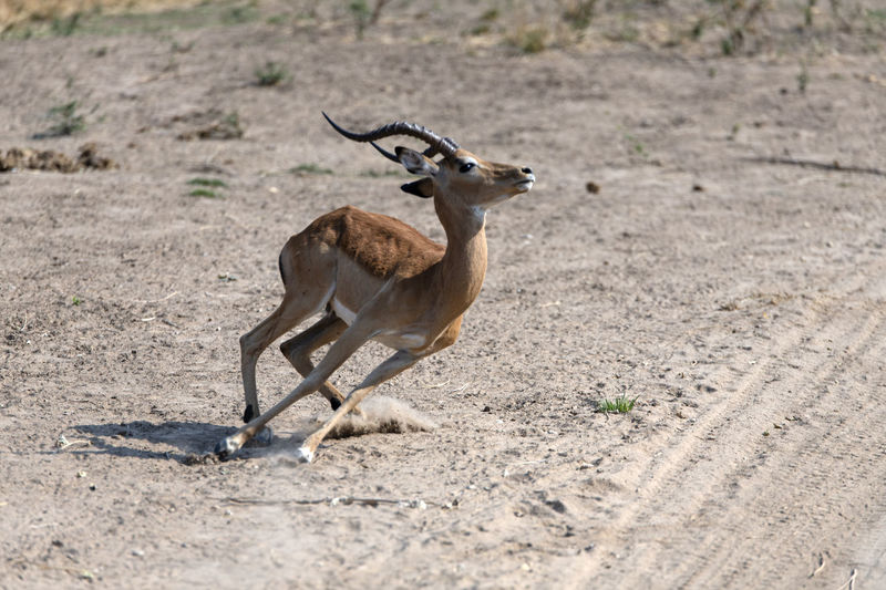 Full length of impala on field