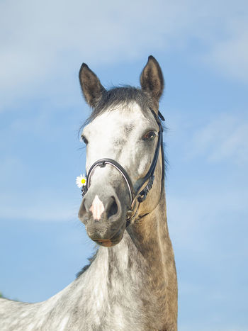 Animal Animal Body Part Animal Head  Animal Themes Bridle Close-up Day Domestic Animals Horse Looking At Camera Mammal No People One Animal Outdoors Portrait Sky