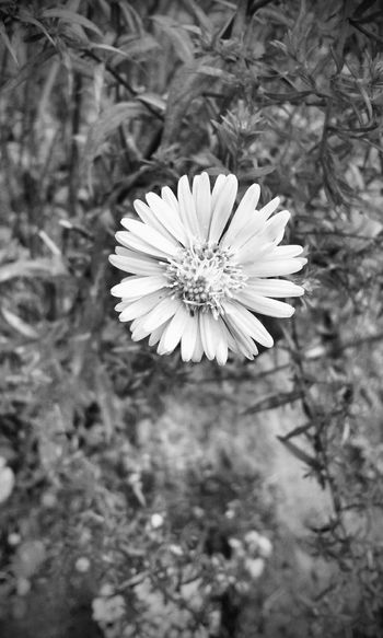 Be that one in a million Nature Flower Flower Head Beauty In Nature Springtime Plant Outdoors No People Close-up Freshness Fragility Day Nature Edits_bnw Bw_collection Eye4photography  Fortheloveofblackandwhite Bnw Monochrome Blackandwhite Monochrome Photograhy Non-urban Scene Blooming Petal