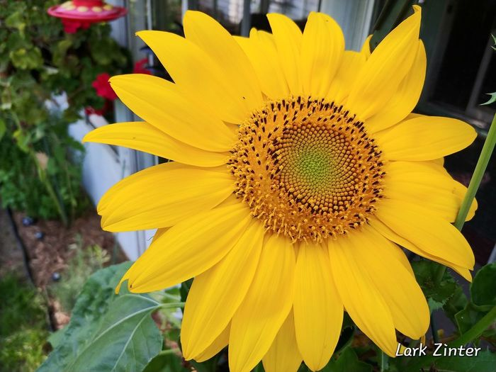 Sweet Saturday LG V30 Beauty In My Garden Flowers For My Friends Flower Collection Flowerporn Nature Nature_collection Naturelovers Flower Head Flower Beauty Yellow Sunflower Petal Blossom