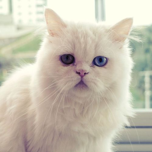 White Cat Domestic Cat Pets Domestic Animals Looking At Camera Close-up Persian Cat  Animal Themes No People One Animal Indoors  Day Portrait Mammal Feline Whisker