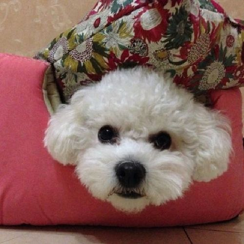 My cute babe?? Bichon Bichonfrise Cute Pet