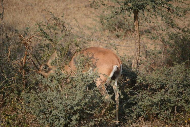 Antelope deer