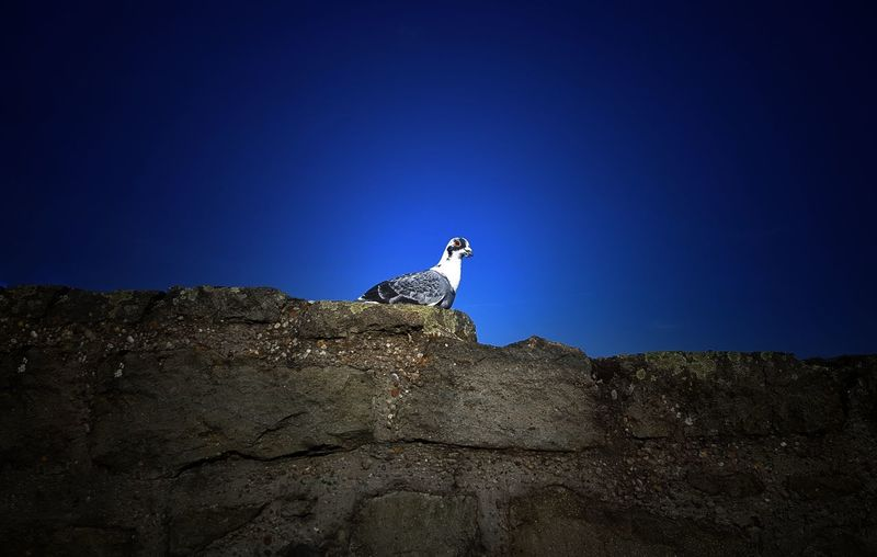 Low angle view of bird on rock against clear blue sky