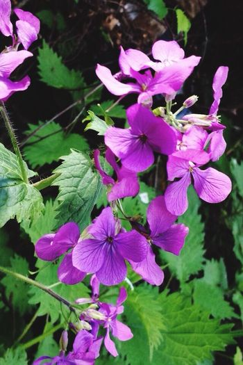 Flower Beauty In Nature Nature Plant No People Purple Flower Sideways View Outdoors Pink Color Blooming Close-up Beauty In Nature Front Focus
