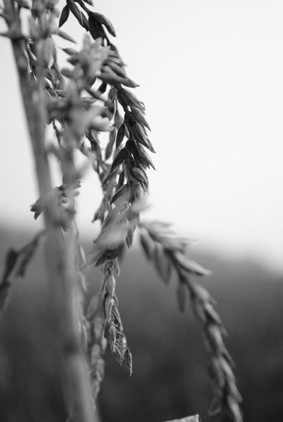 Autumn Blackandwhite Close-up Fragility Grainfields Seed