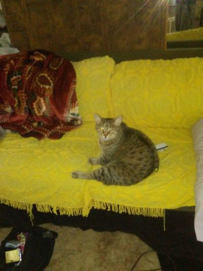 My fat cat loves his new couch Domestic Cat Pets Feline Domestic Animals One Animal Yellow Looking At Camera