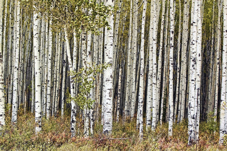 fall aspen forest northern albera Tree Trunk Land Trunk Forest Tree Plant WoodLand No People Tranquility Nature Beauty In Nature Day Non-urban Scene Scenics - Nature Tranquil Scene Growth Landscape Environment Outdoors Birch Tree Pine Woodland Fall Landscape Fall Colours In The Fall Aspen Trees Aspen Forest