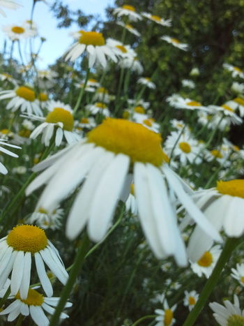 Camomile Meadow Nature_collection Nature Photography Naturally Me EyeEm Nature Lover EyeEm Best Shots - Nature Chamomile Field 🌼🌼🌼🌼🌼 Summer ☀ Flowers For My Friends