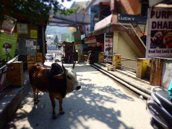 Day City Domestic Animals Mammal October Rishikesh India Market Road No People Beauty In Nature Cow LaxmanJhula