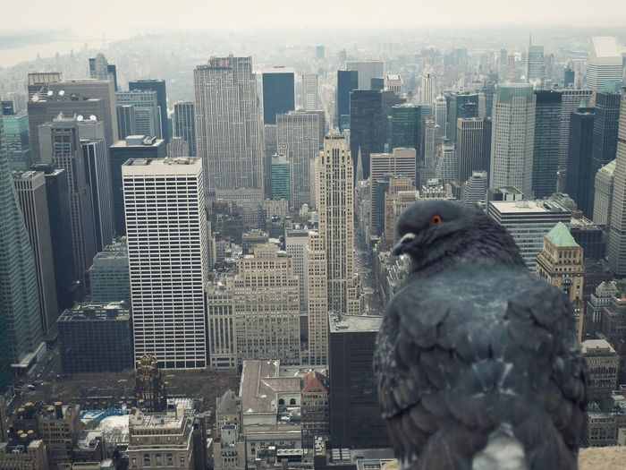 A Pigeon Perching on the top of the Empire State Building . New York New York City Skyscraper Cityscape Architecture City Travel Destinations No People Outdoors Urban Skyline Animal Themes Bird Bird Photography City Life Cityscape Birds Eye View Looking Down High High Angle View Adapted To The City Watching EyeEmNewHere Flying High