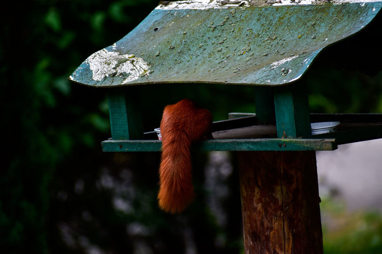 Squirrel's tail hanging off a bird house